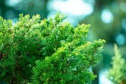 Green pine tree image